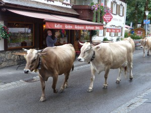Täglicher Viehabtrieb in Oberstdorf. © Foto: Bernd Kregel