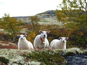 Schafe sind auf Wanderungen ständige Begleiter. © 2014, BU/Foto: Rainer Hamberger