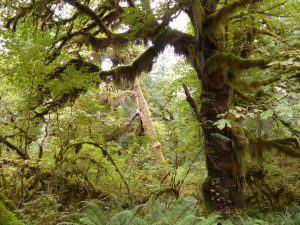 Hoh-Rain-Forest im Olympic-National-Park. Foto: © 2013, Rainer Hamberger