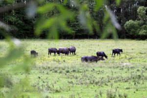 Büffel-Reservat am Kleinen Plattensee. © Foto: Thilo Scheu, 2012