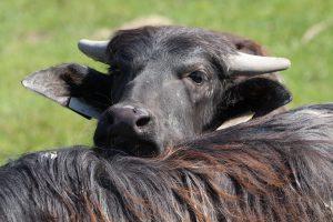 Büffel. © Foto: Thilo Scheu, 2012