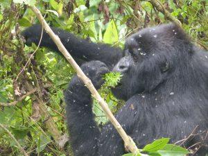 Mountain Gorilla im Buschwerk des Volcanoes National Park. © Foto: Dr. Bernd Kregel, 2015