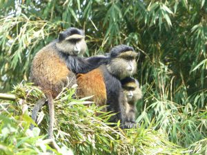 Golden Monkeys im Volcanoes National Park. © Foto: Dr. Bernd Kregel, 2015