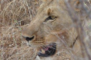 Löwin im Selous-Wildreservat. © Foto: Bernd Kregel