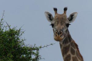 Giraffe im Selous-Wildreservat. © Foto: Bernd Kregel