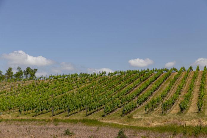 Im Stadtgebiet von Wien wächst Wein auf 622 Hektar.