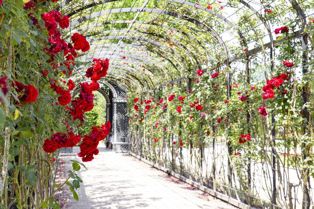 Rosen im Überfluss im Schlosspark.